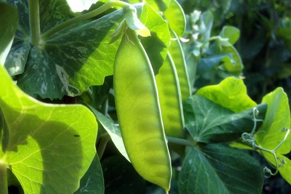 Grøntsager og ærter i den lille have