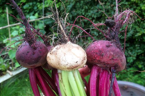 Grøntsager og rødbeder fra den lille have