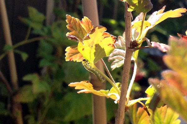 Stikkelsbærhvepselarver i den lille have