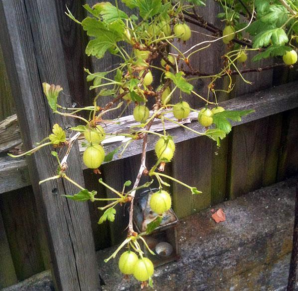 Stakkels stikkelsbær – om stikkelsbærhvepselarver