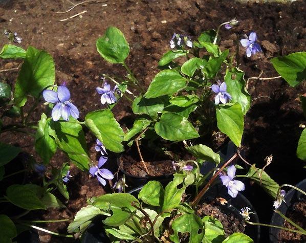 Hvad haven gemte – martsvioler