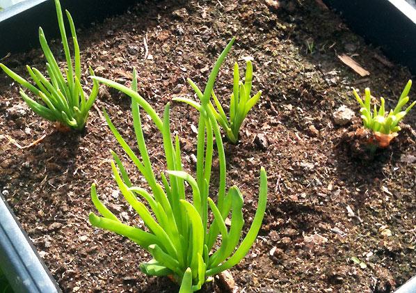 Dyrk løg i krukker i din lille have