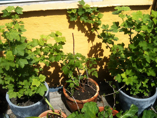 Krukkede frugtbuske – plant frugtbuske i krukker