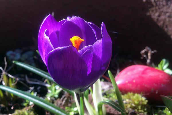 Blomster i marts krokus