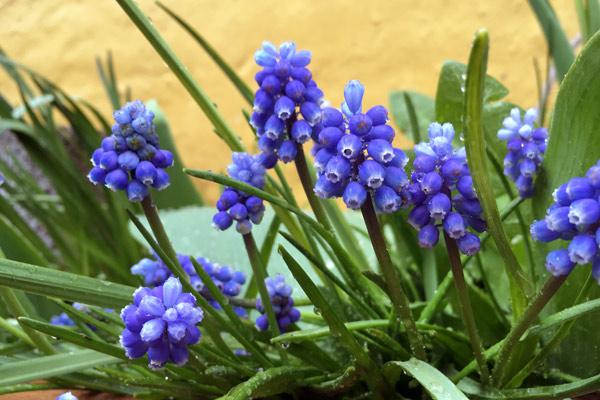 Perlehyacinter fra blomster i april i den lille have
