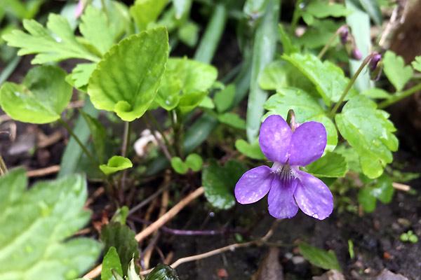 Martsvioler fra blomster i april i den lille have