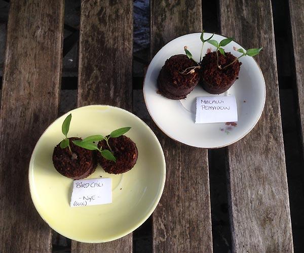Chilier til forspiring i den lille have