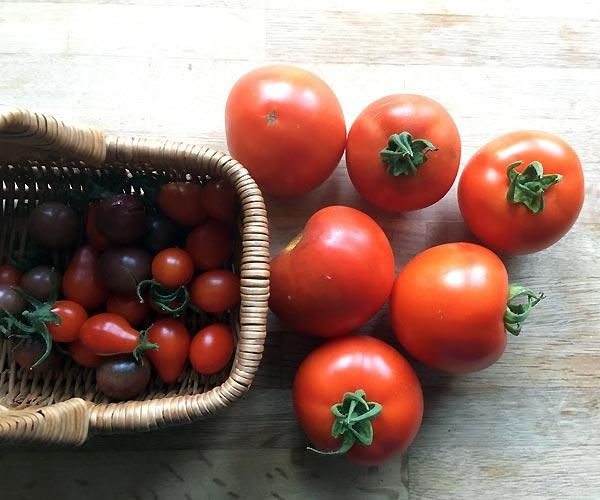 Jeg plukker Easy to grow tomater